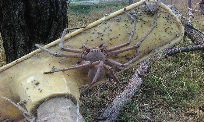 Αποτέλεσμα εικόνας για Η μεγαλύτερη αράχνη στον κόσμο φωτογραφήθηκε σε φάρμα στην Αυστραλία