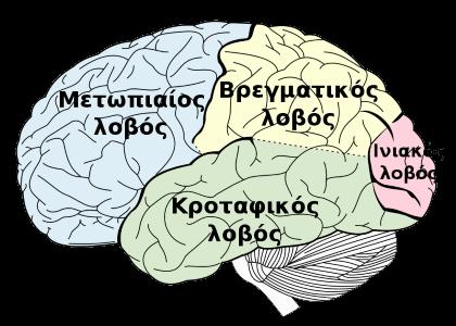 Λοβοί του εγκεφάλου.