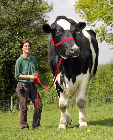 Largest cow Photoshop Picture