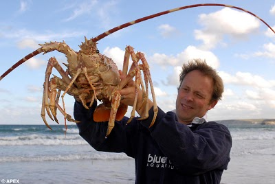 Largest alive lobster Photoshop Picture