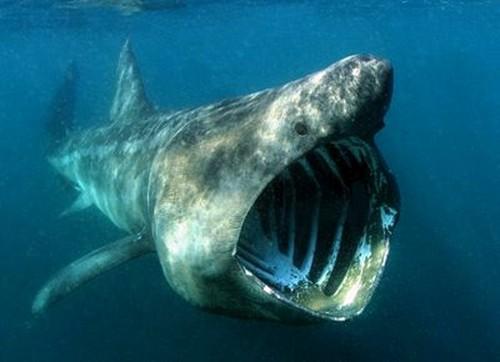 Largest Basking Shark Photoshop Picture