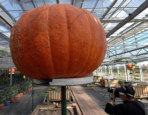 Largest pumpkin Photoshop Picture