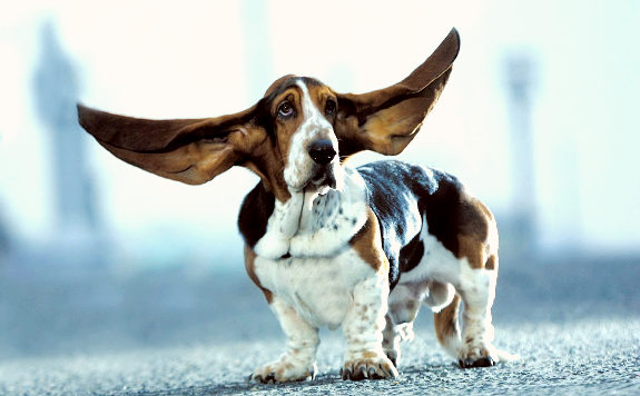 Largest dog ears Photoshop Picture